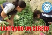 Cómo plantar un cerezo   Huerto escolar